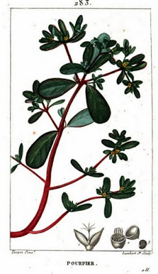 Painting of purslane from Flore Médicale, Volume 5, by F.P. Chaumeton, et al., 1820