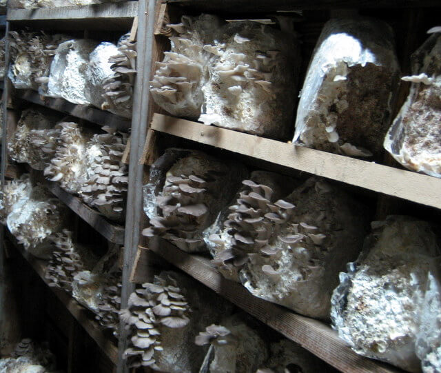 Oyster mushrooms in a growing room at Far West Fungi mushroom farm