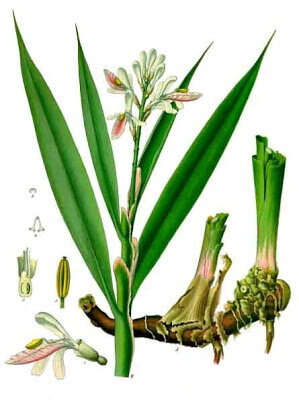 Painting-of-Galangal-plant-from-Wikipedia