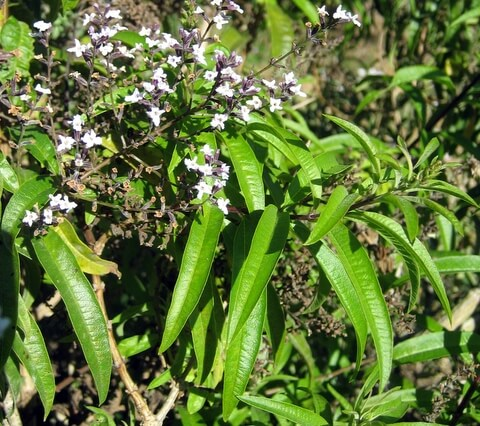Lemon Verbena leaves and flowers