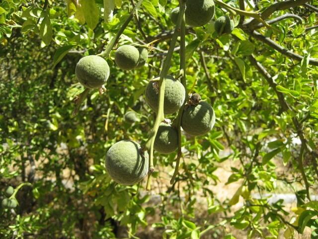Trifoliate orange hybrids at Gold Ridge Luther Burbank Farm in Sebastapol California