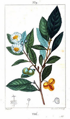 Painting of tea leaves and blossoms from Flore Médicale, by F.P. Chaumeton et al., 1820