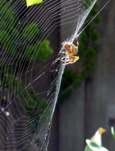 cross spider, Araneus Diadematus on her web