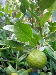 Makrut lime leaves and fruit