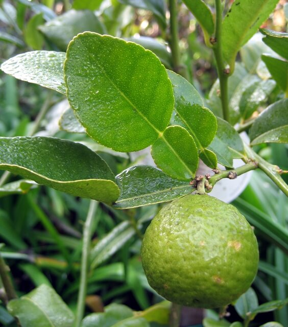 Makrut lime leaves and fruit - 8922