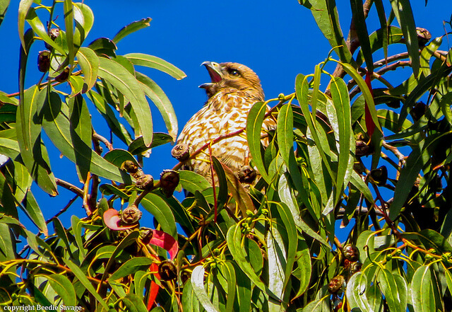 juvenile-red-shouldered-hawk-in-eucalyptus-tree-from-margle-savage-on-flickr