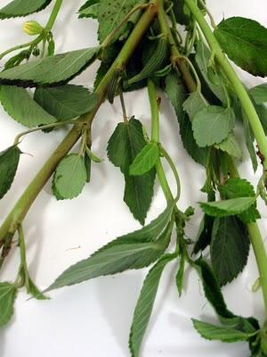 Jute leaves (Colichortus olitorius)