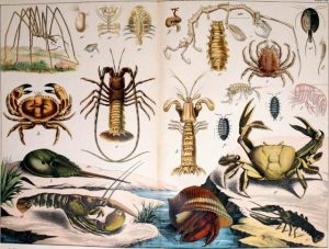 Shrimp and crustaceans - Image from Natural history of the animal kingdom for the use of young people - Internet Archive on Flickr