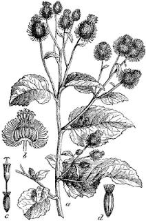 Lappa vulgaris Nsr slika from Wikimedia Commons