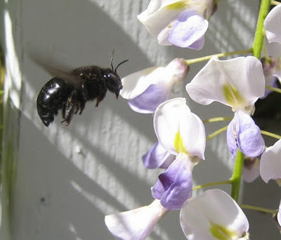 Large black bee (a female of a Xylocopa species?) visiting wisteria