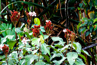 Achiote plant by kaitlyn rose on Flickr