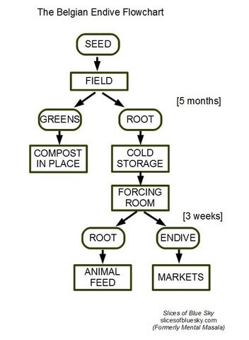Flowchart of endive growing process