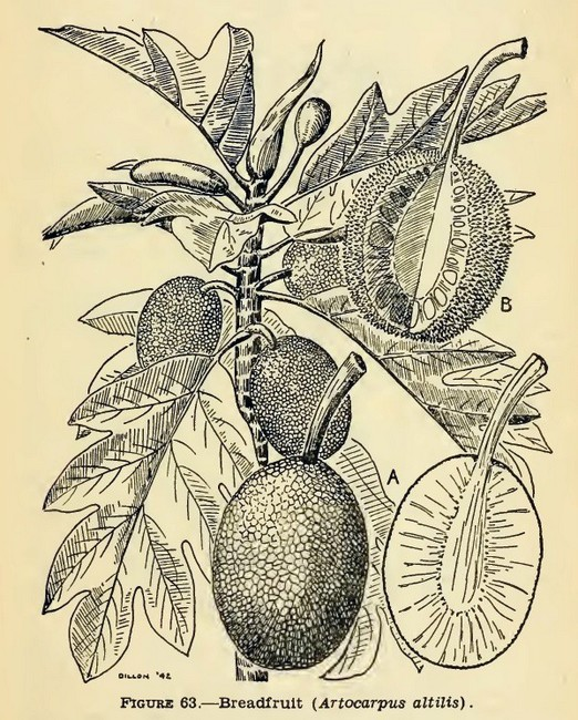 Drawing of breadfruit plant, from Emergency food plants and poisonous plants of the islands of the pacific, US War Department, 1943