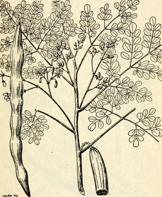 Drawing of moringa plant and seedpod, from Emergency food plants and poisonous plants of the islands of the pacific, US War Department, 1943