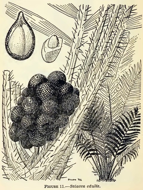 Salacca edulis (salak, snakeskin fruit) drawing in Emergency Food Plants, 1943, US War Dept - from Internet Archive