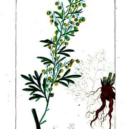 absinthe-from-flore-medicale-by-chaumeton-et-al