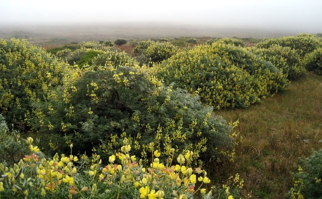 Field of lupine bushes at Point Reyes