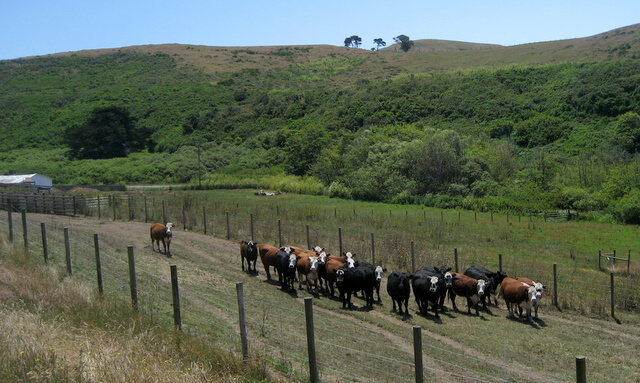 Marin Sun Farms - Cattle in Training