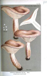 "Lactarius helvus from ""Handbook of British Fungi"" by Cooke from Wikimedia Commons"