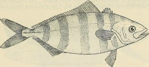 Rudderfish from Bulletin of US Fish Commission on Flickr Commons