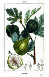 Fig from Flore Medicale Volume 3, by Chaumeton et al, 1816