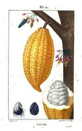 Cacao from Flore Medicale by Chaumeton et al, 1820.08