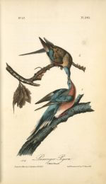 Passenger Pigeons by Audubon 1840-1844 from NYPL digital collections