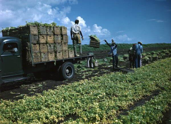 loading celery crates onto trucks near Sarasota, Florida - Florida Memory on Flickr