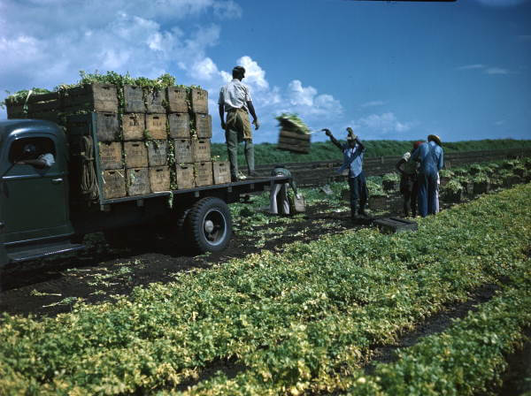 loading celery crates onto trucks near Sarasota, Florida - Florida Memory on Flickr