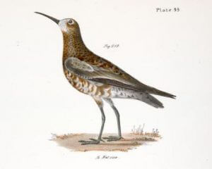 Curlew Sandpiper by James E. De Kay nypl digitalcollections