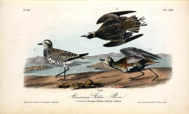 Golden Plover from Audubon's Birds of America nypl.digitalcollections.510d47d9-735e-a3d9-e040-e00a18064a99.001.w