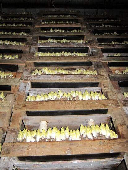 Wall of endive in the forcing room at California Endive Farm, Rio Vista, California