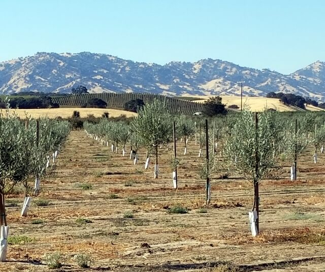 Young olive trees in Yolo County, California