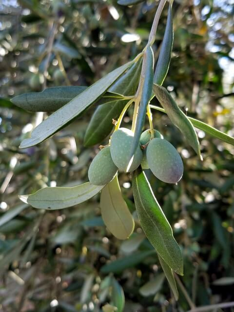 Olives on the tree in Longview Ranch olive grove