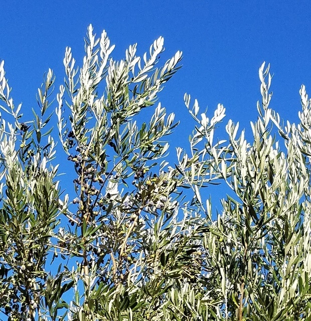 Olive leaves and blue sky