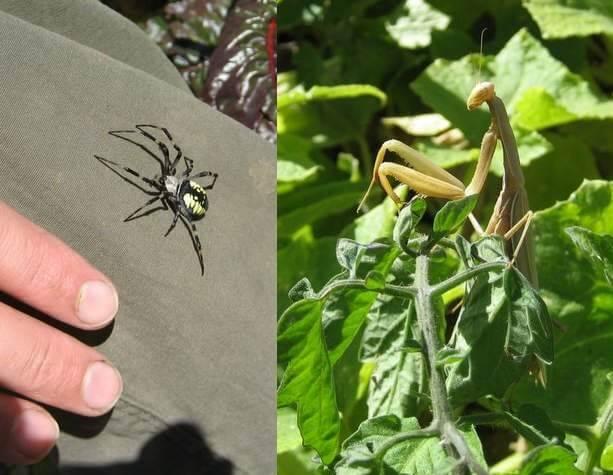 Spider and praying mantis at Alemany Farm, San Francisco