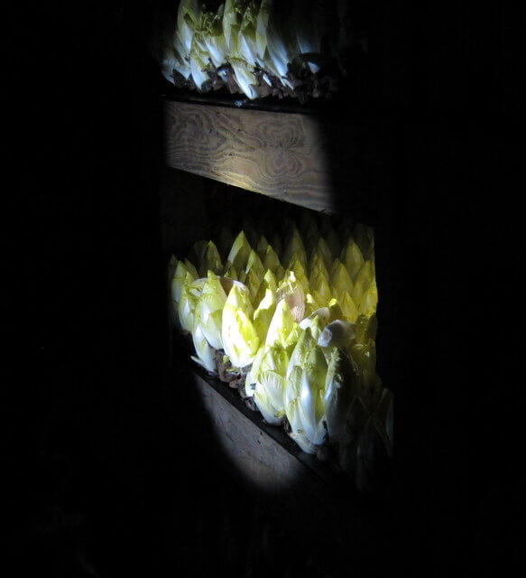 Endive in the forcing room at California Endive Farm, Rio Vista, California