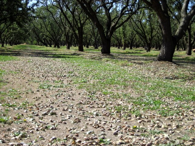 The floor of an almond orchard, littered with almonds