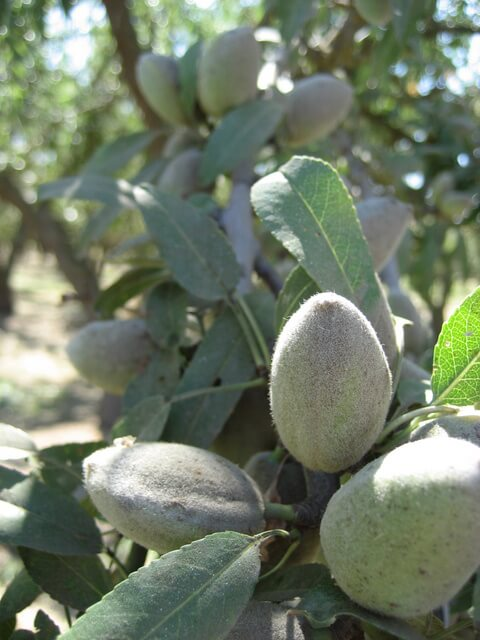 Unharvested green almonds on the tree