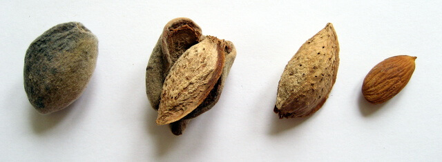 The 4 stages of an almond - green, peeled, shelled, ready-to-eat