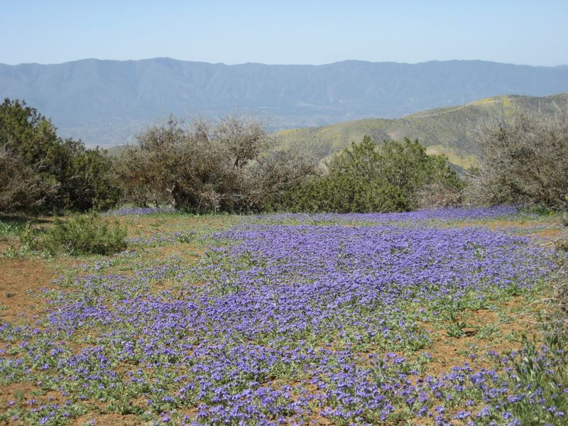 Wildflowers and view from Caliente Ridge Trail in Carrizo Plain National Monument